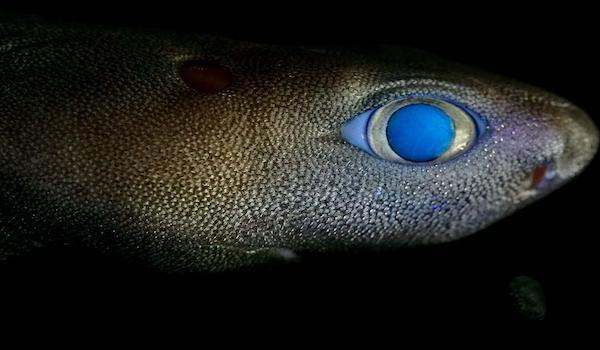 kitefin shark glow new zealand